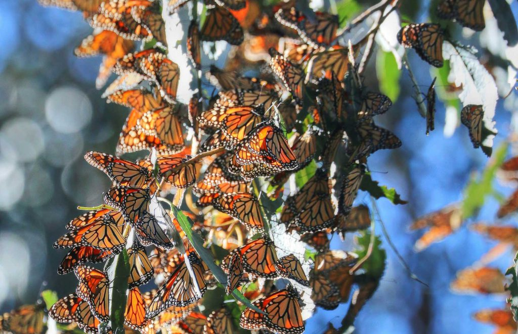 Monarch Butterfly Groves Central Coast